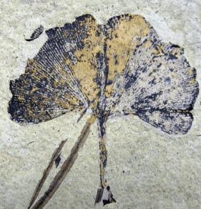 Ginkgo Biloba Leaf Fossil. Klondike Mountain Formation, Republic, Ferry County, Washington, USA, Eocene, Ypresian, 49 million years old CC BY-SA 3.0 File:Ginkgo biloba 01 SR 87-36-02 A.jpg Uploaded: 2009-09-16 01:41:02