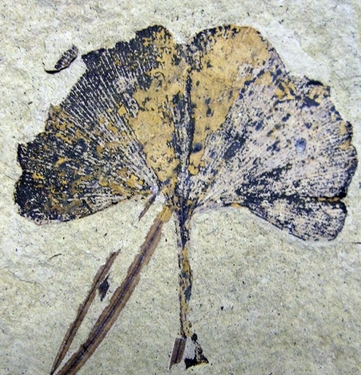 Ginkgo Biloba Leaf Fossil. Klondike Mountain Formation, Republic, Ferry County, Washington, USA, Eocene, Ypresian, 49 million years old CC BY-SA 3.0 File:Ginkgo biloba 01 SR 87-36-02 A.jpg Uploaded: 2009-09-16 01:41:02