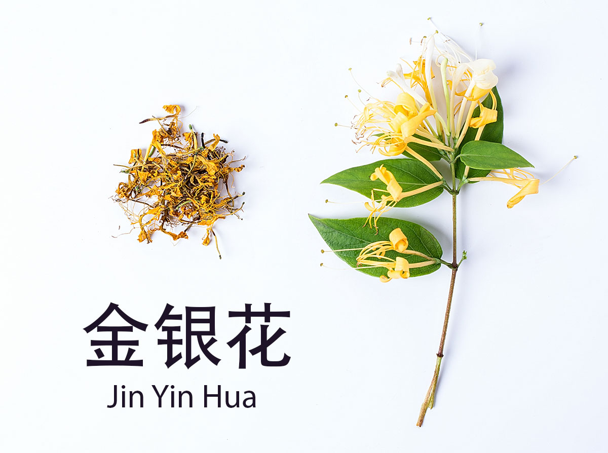 All herbs have different temperature properties in TCM. Due to its cooling nature, it's good for clearing excessive heat and forcing out pathogens. Overall, honeysuckle is a great for balancing Yin and Yang in the body. It's a go to for cold and flu season.