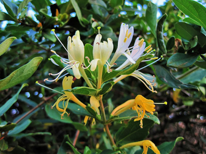 """In Traditional Chinese Medicine, another name for honeysuckle is Jin Yin Hua, which means """"golden silver flower"""". It has cooling properties, making it perfect for clearing """"heat"""" and relieving toxicity. Heat, in TCM, is either a deficiency in Yin, or an excess of Yang. Both of which cause imbalance in the body, and can cause health problems."""
